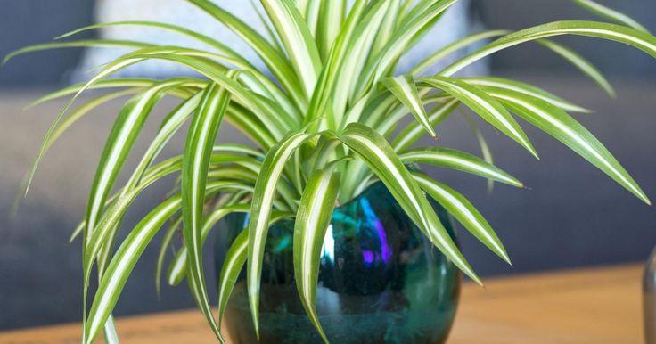Die Zimmerpflanze ist ein Klassiker im Haus und verzeiht so manchen Pflegefehler. Sie eignet sich besonders gut für Blumenampeln und lässt sich über ihre vielen Kindel ganz einfach vermehren.