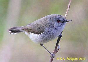 Grey Warbler parent aggressively defending territory - New Zealand