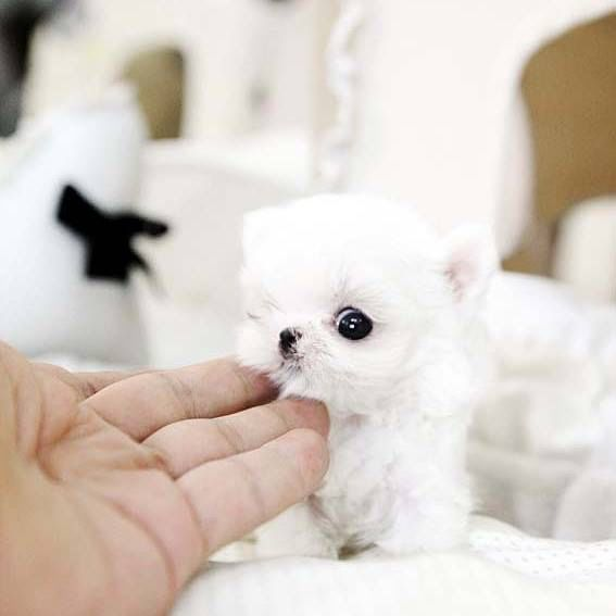 #puppies #forsale #microteacup #Maltese #mydubai #tinyteacup puppies@Poshpocketpups.com for prices