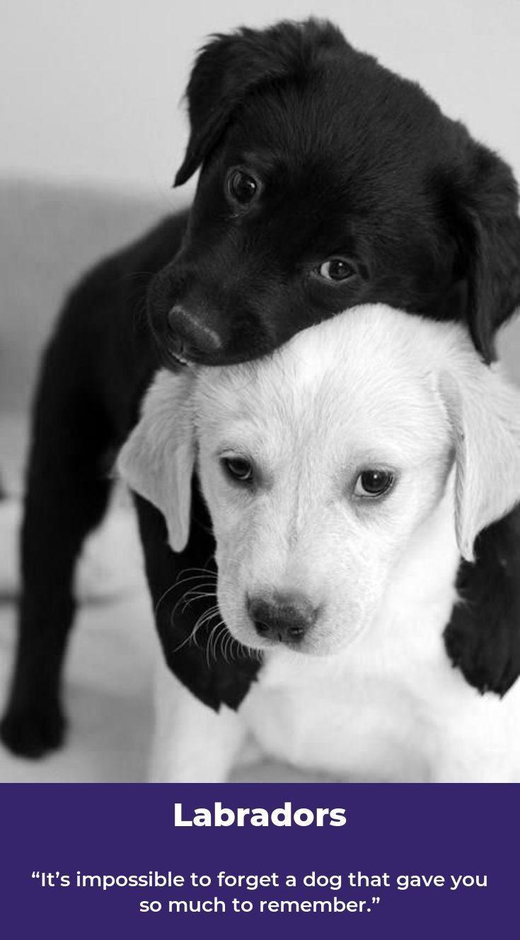 Labrador Retriever Chocolate Labradormix Labradorite Labradors