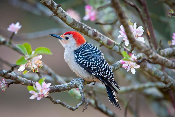 Birds - Red bellied Woodpecker (2400×1600)