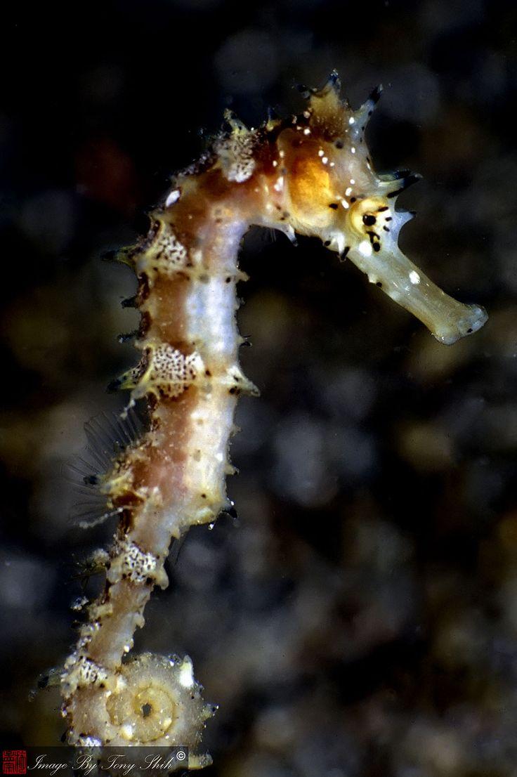 hippocampus-histrix Hippocampus hystrix, plus communément appelé hippocampe épineux ou hippocampe hérissé
