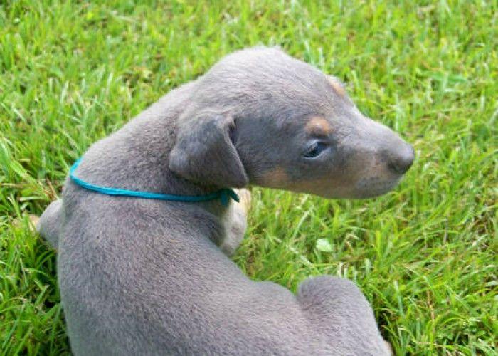 blue doberman | Blue male Doberman Puppy for Sale in Middlesboro, Kentucky Classified ...