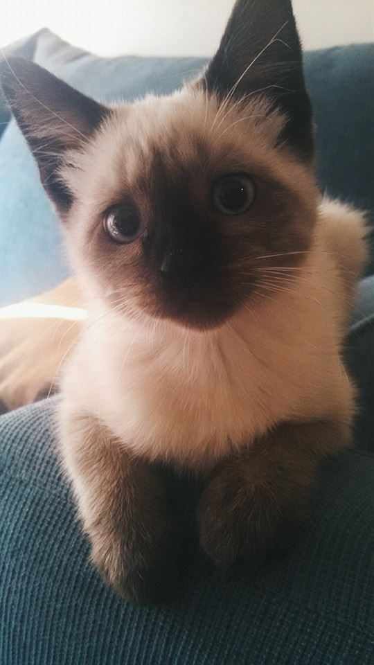 Night Cat Productions: 25+ Best Ideas About Siamese Kittens On Pinterest