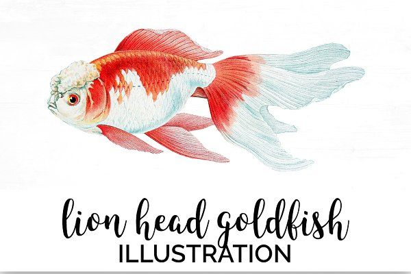 Goldfish Koi Vintage Illustration Fish Illustration Vintage Illustration Illustration