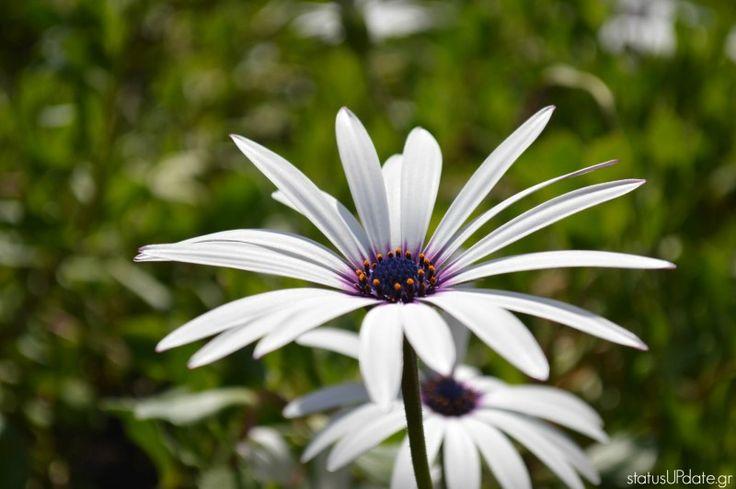#Spring #Flowers #Daisy