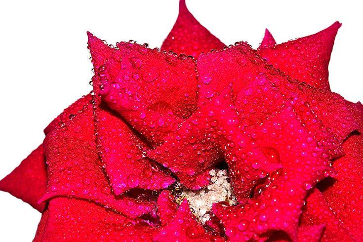 Natalya Myachikova Photograph# Red rose in drops of rain by Natalya Myachikova#Natalya Myachikova Fine Art Photography #red# rose# macro# White background#Art For Home#Fine Art Prints#InteriorDesign