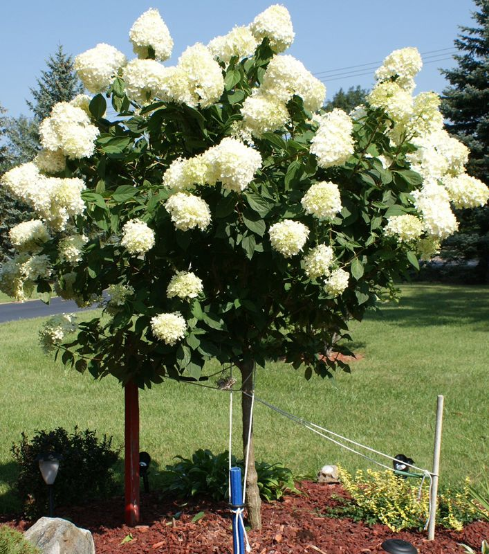 87 best images about limelight hydrangea tree on pinterest for Limelight hydrangea