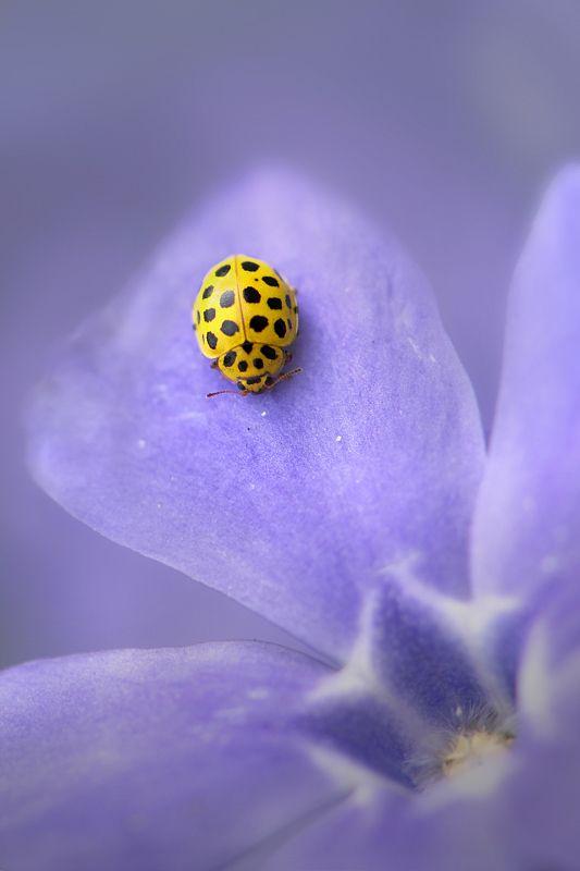 """ladybug in purple"" by trui alink, via 500px."