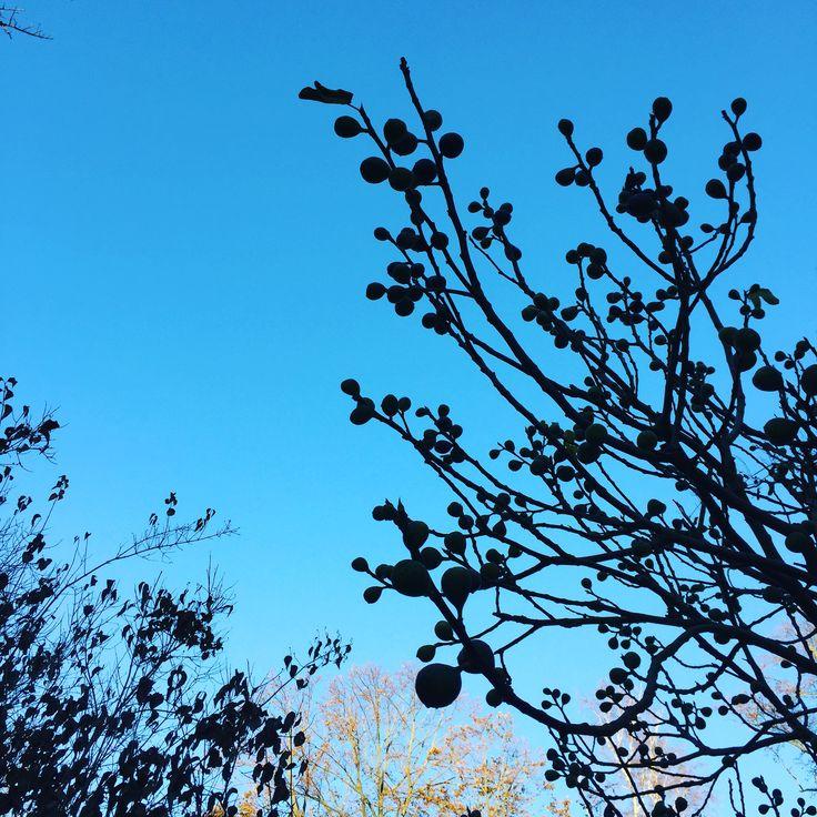 Ficus carica in November