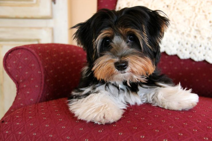 Ollie, my Biewer Yorkshire Terrier (5 Months) February