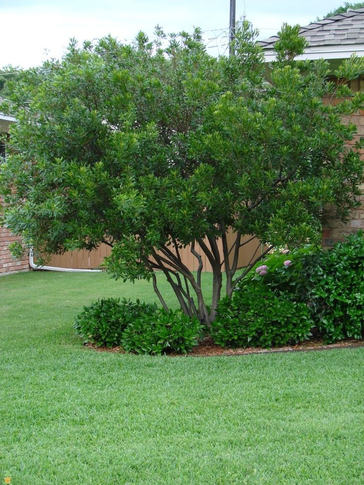 Evergreen Wax Myrtle Tree Pruned Can Grow As Bush