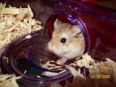 Leo the robo dwarf hamster