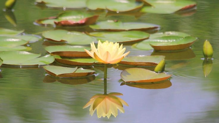 yellow lotus in the pond. - Stock Footage | by samarttiw