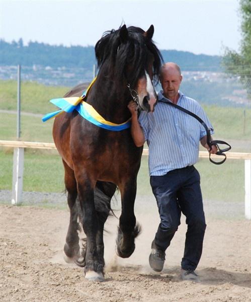 Kavaljer, North Swedish Stallion