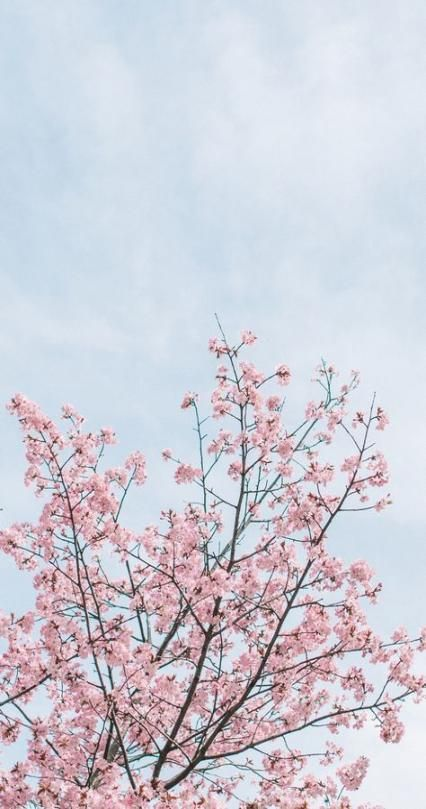 Flowers Background Wallpapers Spring Cherry Blossoms 59+ Trendy Ideas