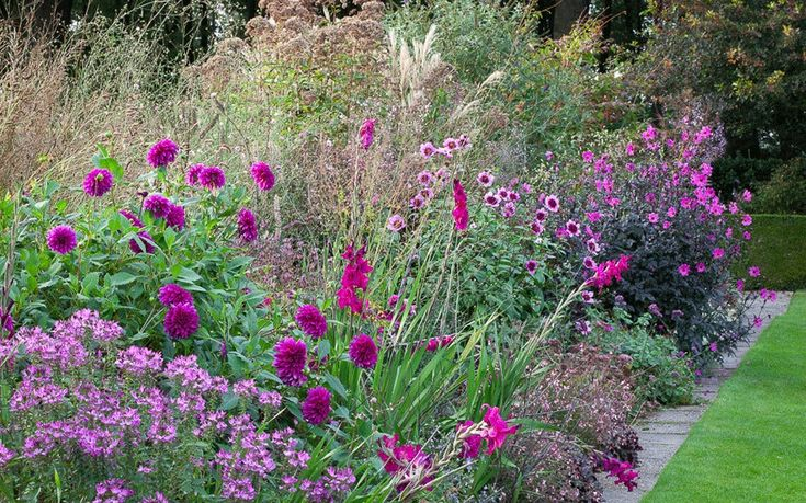 The purple border. The purple border at De Boschhoeve. Dahlia 'Magenta Star', D.'Le Baron', Cleome 'Senorita Rosalita' in the foreground.