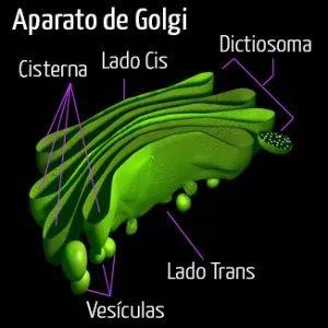 Estructuras y organelos | Portal Académico del CCH