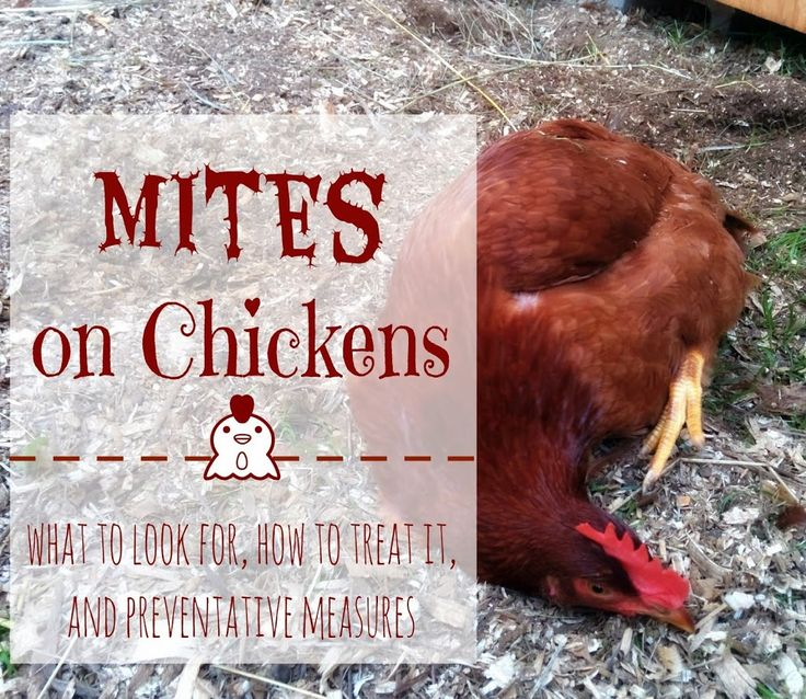 Natural Remedies For Mites On Chickens