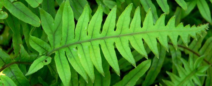 What Is Polypodium Leucotomos?  Research done on Polypodium leucotomos over the past 40 years has shown it is useful for the treatment of inflammation and a variety of skin ailments including psoriasis, vitiligo, atopic dermatitis (eczema), and melasma. It also serves as a protectant against sunburn (solar erythema) and helps prevent and relieve polymorphous light eruption.  http://www.sunsaferx.com/health-tips/polypodium-leucotomos/