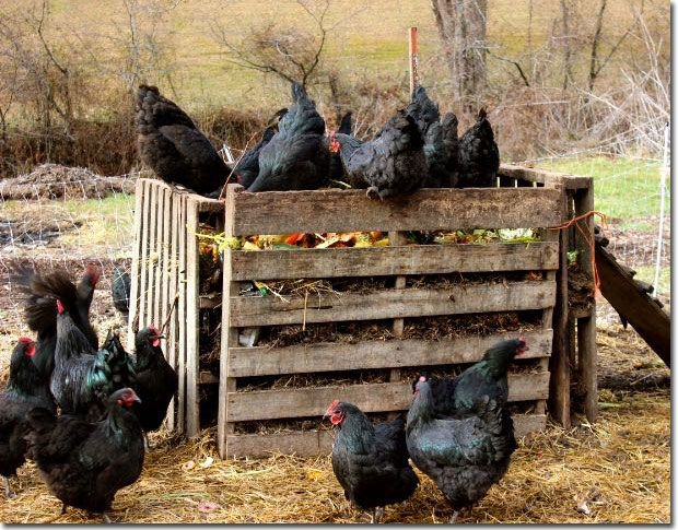 "The Chicken ""Run"" on Steroids! Composting with chickens rather than paying for feed--not only is it free, but it also produces compost."