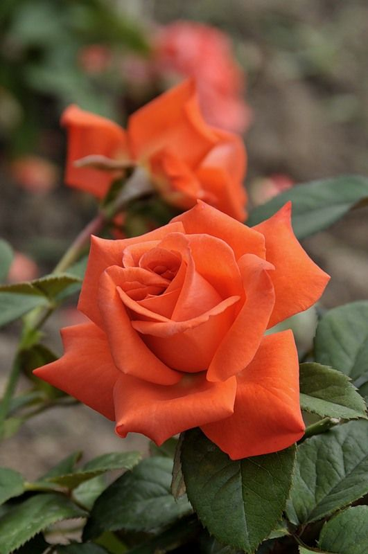 'Beauty Star' | Hybrid Tea Rose. Fryer's, 1990