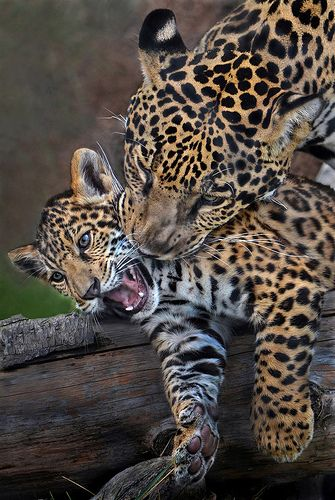 Oh mom! | Valerio, a jaguar cub, gets some unwanted attentio… | Flickr
