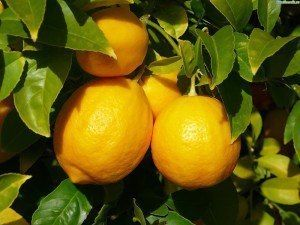 Лимоны: полезные свойства, народные рецепты    Полезные свойства лимонов можно перечислять долго. Они не только вкусны и широко используются в кулинарии – лимоны обладают широким спектром целебных свойств. Лимоны препятствует процессам гниения, особенно в печени. С помощью лимонов можно укрепить иммунную систему, соединительную ткань, волосы и ногти.  Лимоны обладают широким спектром целебных свойств  Лимон стимулирует выработку желудочного сока, улучшает усвоение железа, активизирует обмен…