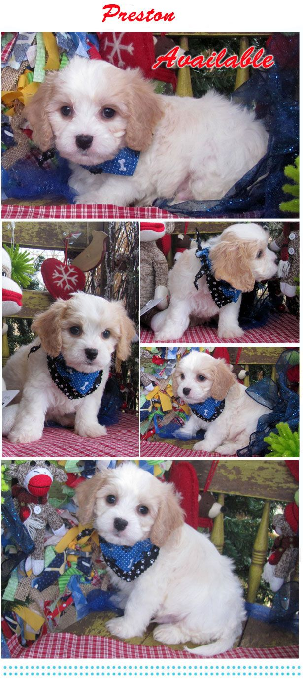www.cavachonsbydesign.com Cavachon puppies for sale, Cavachon, Cavachons, Cavachon dog, Cavachon pups, Cavachon pup, Cavachons dogs for sale, Cavachon puppies, Cavachons for sale, Cavachon breeder, Cavachon breeders, Bichon, Bichon Frise, Cavalier, Cavalier King Charles, Cavalier Spaniel, Baby, Babies, Designer dogs, Designer puppies, Cute, Dog, puppies, puppy, Designer dog, adopt, Beautiful pups, pups, Beautiful.