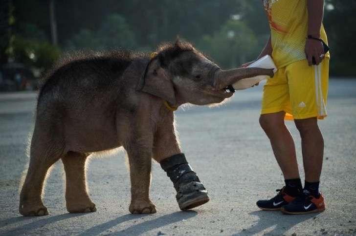 Este lindo elefante pequeño aprende a caminar en el agua después de caer en una trampa en Tailandia