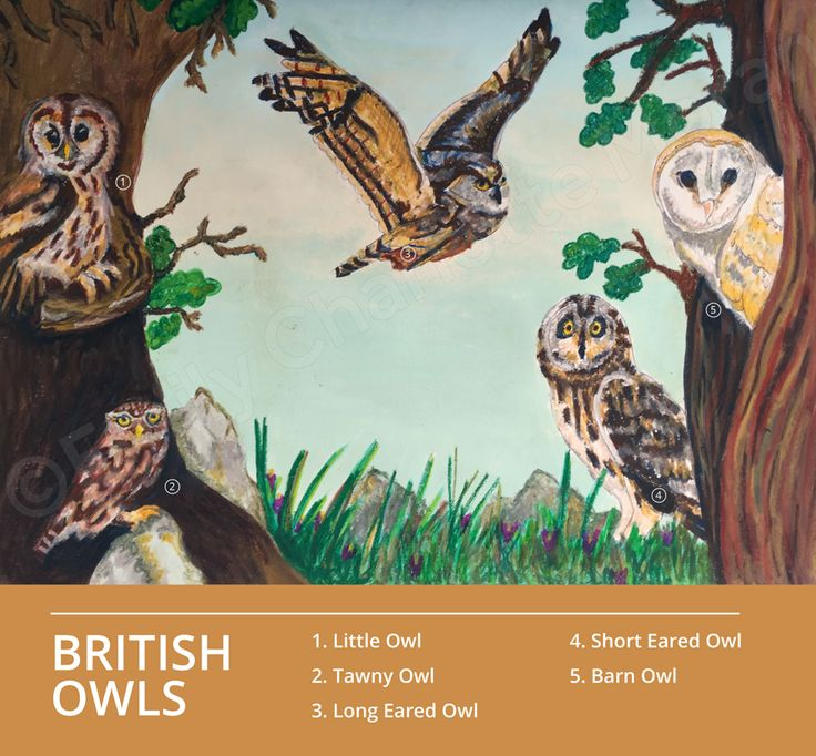 This is one of my initial illustrations for the FAT2 project. My chosen client is the RSPB and this is an educational illustration about British birds- these are the five owls found in the UK- Little Owl, Tawny Owl, Short and Long Eared Owls and the Barn Owl.