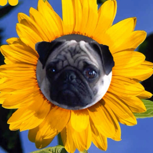 17 Best Images About Stuff By Jimmy Tophats Pugs