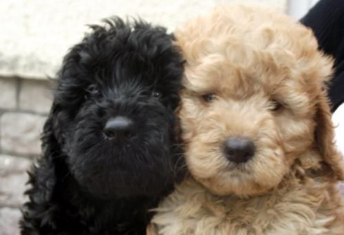 gorgeous cockapoo, Both, 0-8 weeks, for sale in Avon, South West :: Dogs and Puppies