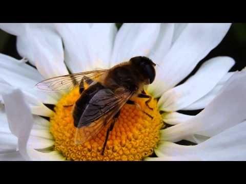 Bij macro,Bee macro,Biene focus