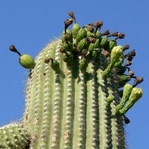 Vista previa del artículo ¿Cuáles son los cactus altos?