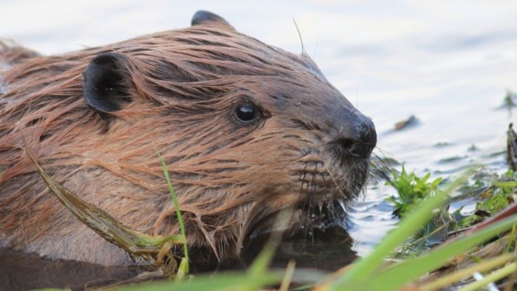 Canadian news headlines      (adsbygoogle = window.adsbygoogle || []).push();    The Hunter-Clyde Watershed Group is concerned about an increased presence of beavers in the Hunter River area. Beavers recently constructed a dam in a culvert underneath Route 2 in Hunter River, beginning to ... #Weather #videos