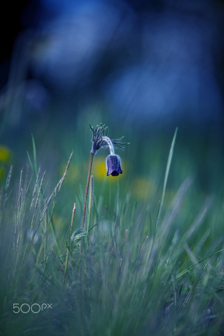 """Into The Night - Pulsatilla Pratensis Pasque Flower is a perennial herb with a basal with hairy leaves. Due to changes in natural conditions, there is a loss of individual species in the nature, because of that are Pulsatillas protected.  Shot from my series """"Spring Pasque Flowers"""""""