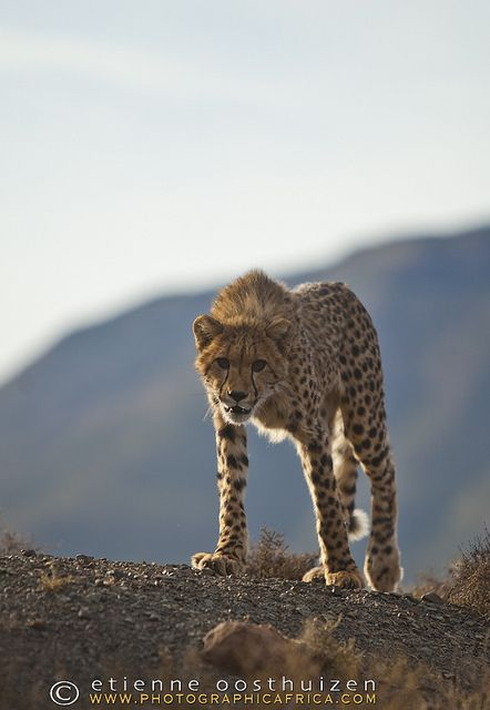 Cheetah, Samara private game reserve, Zululand // photo by Etienne Oosthuizen