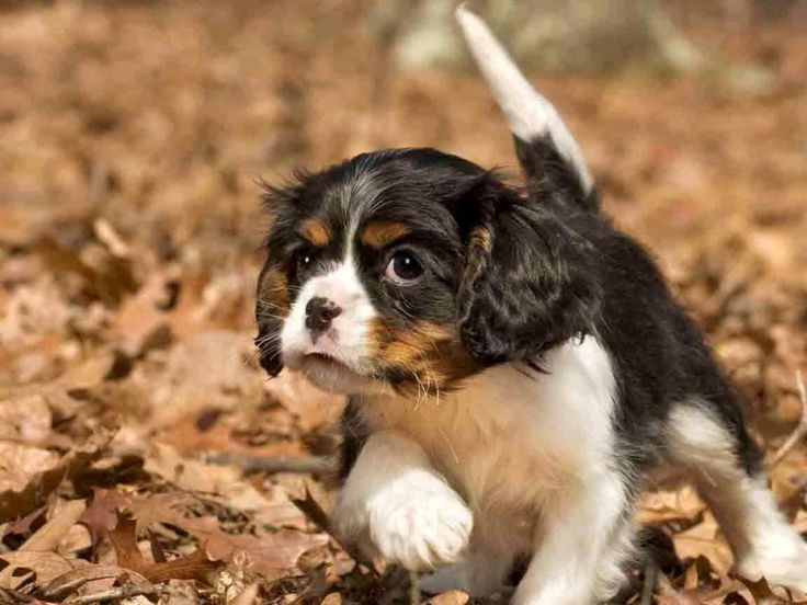 Cavalier King Charles Spaniel puppy - sneaky sneaky