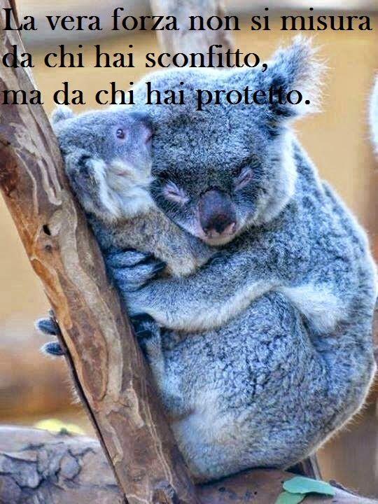 frasi divertenti koala