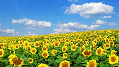 солнце, природа, Подсолнух, лето