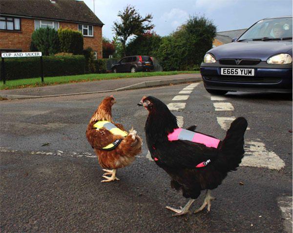Gallinas con chalecos reflectantes Omlet, para que se sientan abrigadas y seguras de coches y otras gallinas.