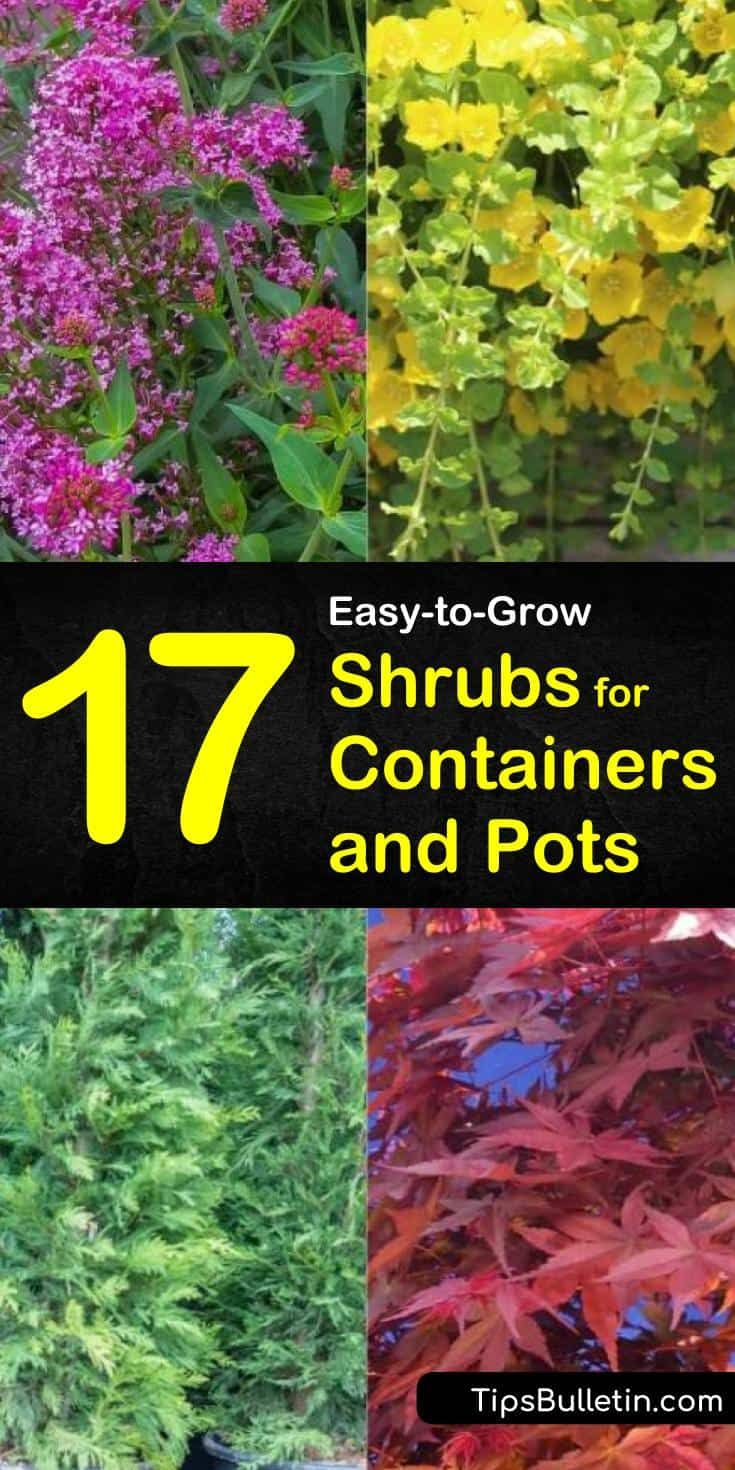 44 Best Shrubs For Containers Best Container Gardening Plants Flower Pots Outdoor Container Gardening Container Plants