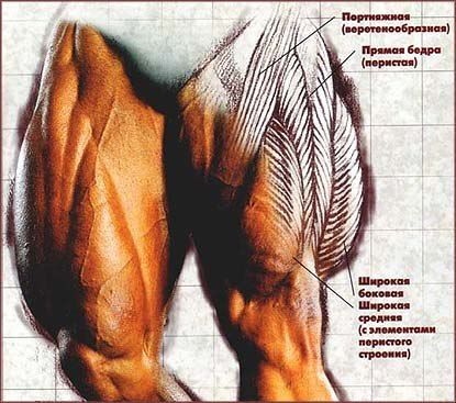 Не поленитесь прочитать. Полезная статья!!!!!   Физиология мышц  Мышцы: Предмет, казалось бы, простой. Во всяком случае, проще чем легкие или печень. Там все так сложно, что черт голову сломит. Тем не менее, простота мышц обманчива. Все они изучены и подсчитаны. Да вот беда до сих пор наука так и не выяснила, почему же они сокращаются и за счет чего растут. А если бы выяснила, то что? Вот тогда мы бы «штамповку» Шварценеггеров поставили на поток! А как же иначе? Тогда бы у нас была в руках…