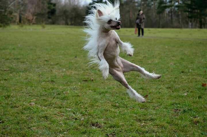 Chinese crested dog  BAYLINKA