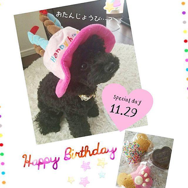 My baby today is a birthday.💞 Congratulations!!🙌It was 1 year old.🎊🎉✨ * 音ちゃん1歳のお誕生日おめでとう🐶❤🎂❤ ずーっと可愛いべいびでいてね😘💕 * * #dog#instadog#mybaby#birthday#happybirthday#girl#love#cute#poodle#family#angel#1129#1yearsold #音ちゃん成長記#お誕生日#おめでと#嬉しいな#帽子嫌がる#あー可愛い#たまらん#愛犬#親バカ#溺愛#べいび#黒プー#ふわもこ部