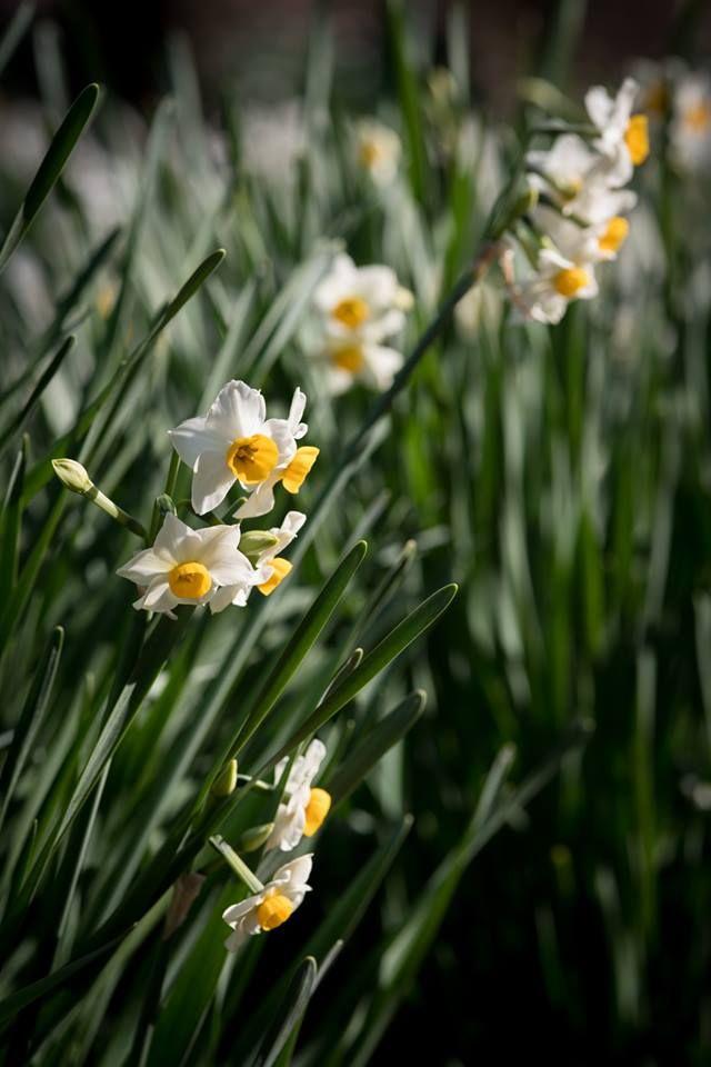 Narcissus Shinjuku Gyoen National Garden Tokyo Japan January 2018 Photo Kunito Imai Daffodils Narcissus Flower Power
