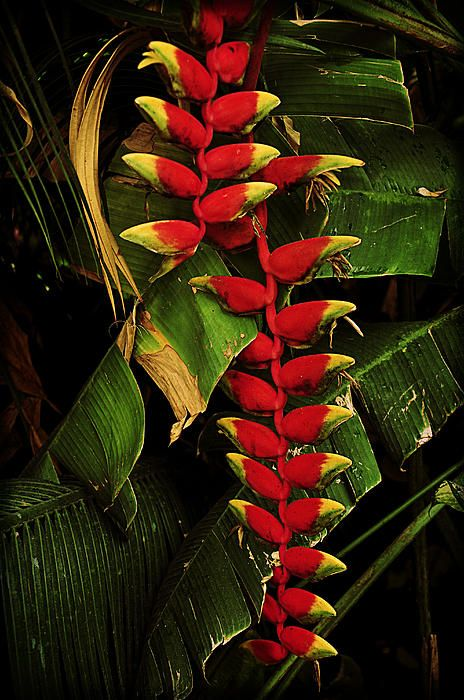 Tropical Flowers Heliconia