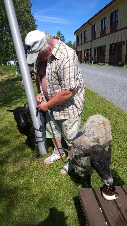 Lampaiden ulkoiluttaja