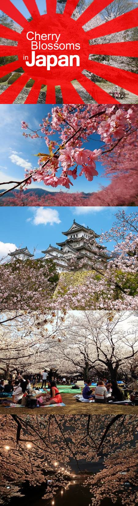 Tips on when and where to see cherry blossoms (called sakura in Japanese) during their peak season.